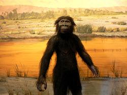 Australopithecus_afarensis_LVNHM.jpg